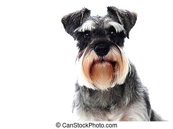 Small black and white miniature schnauzer dog looking at...