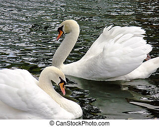 White royal swans - Pair of white royal swans in the evening...
