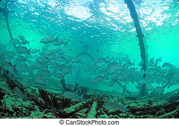 Mangrove snapper fish underwater - School of mangrove...