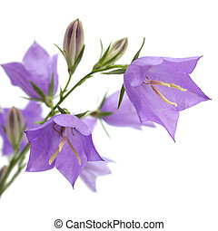 Bellflower it is isolated on a white background