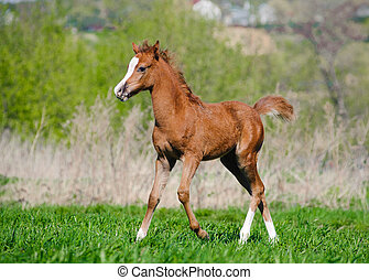 foal walking in field
