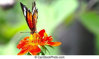 Leopard Lacewing, Butterfly - loop - Looping side profile...