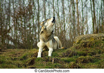 Gray Wolf Howling on a hill. Stock - Gray wolf, canis lupus,...