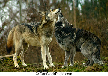 Two wolves kissing. Stock photo - two gray wolves, canis...
