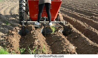 planting potatoes in the farm