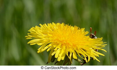 chafer on dandelion flower - chafer start flying on...