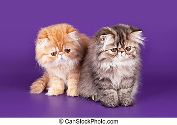 Two Persian Kitty on the violet background