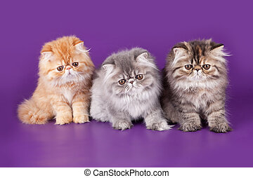 Three Persian Kitty on the violet background