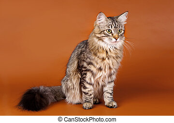 Maine coon on orange background