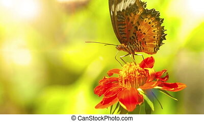 Leopard Lacewing, Butterfly - Side profile video of Leopard...