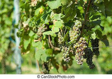 Grape illness