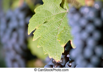Grape leaf in the vineyard