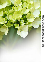 Green Hydrangeas - Young blossom of green hygrangea with...