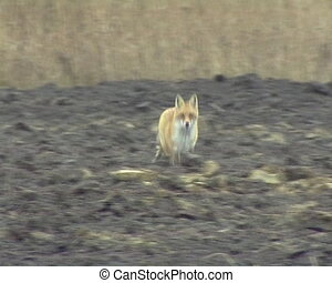 Fox run plowed field - Fox runs through plowed agricultural...