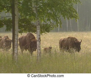 Captive-bred bison animal - Captive-bred European bison. Red...