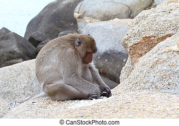 "The crab-eating macaque is a cercopithecine primate native to Southeast Asia. It is also called the ""long-tailed macaque"", and is referred to as the ""cynomolgus monkey"" in laboratories."
