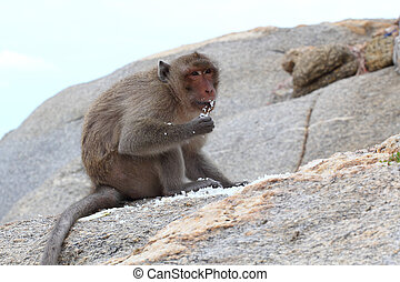 """The crab-eating macaque is a cercopithecine primate native to Southeast Asia. It is also called the """"long-tailed macaque"""", and is referred to as the """"cynomolgus monkey"""" in laboratories."""