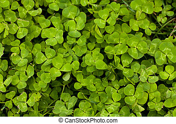 Macro Clover Patch - a close up view of a clover patch