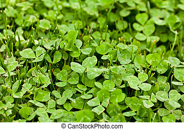 Happy Clover - Looking down at a clover patch
