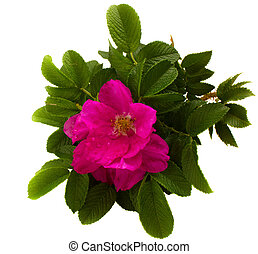 wild roses flower and leaves isolated on white background
