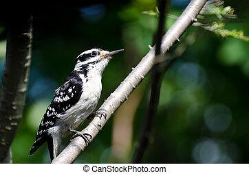 peludo,  perched, pájaro carpintero, árbol