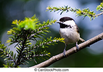 Black-Capped Chickadee Perched in an Evergreen Tree