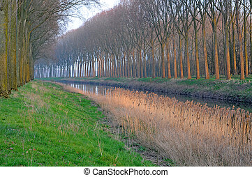 Row of poplars and reed in winter polder along canal in...