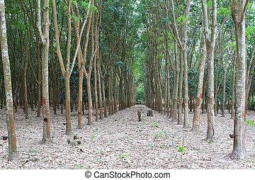 Para rubber tree garden in south of Thailand - Para rubber...