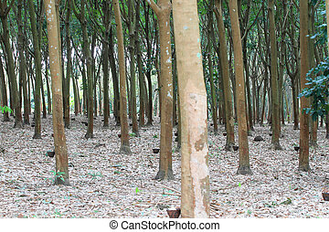 Para rubber tree garden in south of Thailand