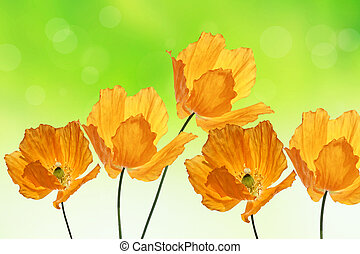 Beautiful orange poppies, summer background