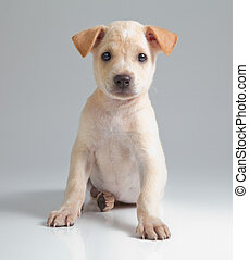 puppy dog - puppy brown dog on gray background