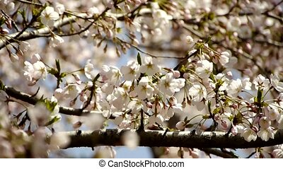 beautiful cherry blossoms tremble - beautiful cherry...