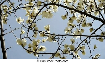 Beautiful magnolia bloom - Beautiful magnolia bloom in...