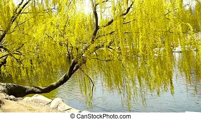 Dense willows by sparkling lake. - Dense willows by...