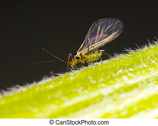 aphid - Cooking ingredient series aphid. for adv etc. of...