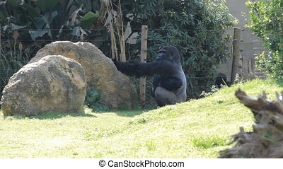 Gorilla in a safari in Israel