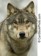 North American Wolf face on - Young North American Wolf in...