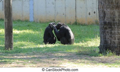 Chimpanzee - Two Chimpanzees  in a safari in Israel