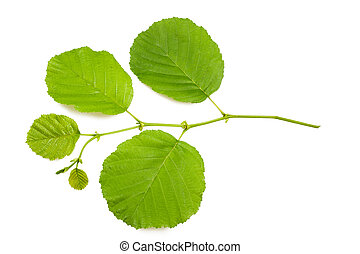 Hazel leaves - hazel branch isolated on white