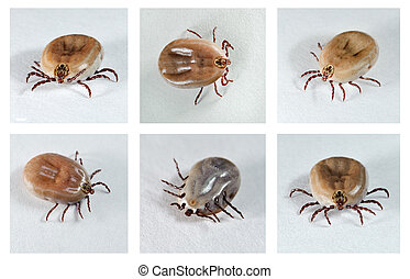 Dog Ticks - Ixodes ricinus Dog ticks female from different...