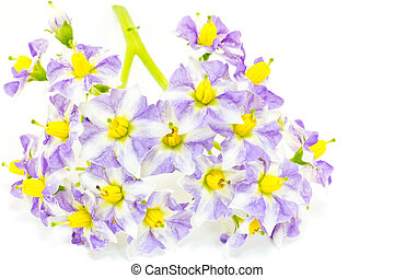 Flower of potato - This is a picture of flowers of potatoes...