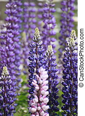 Lupin Lupinus in the garden - Lupin Lupinus, family...