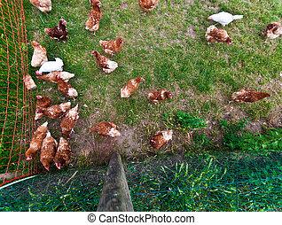 Free running chicken
