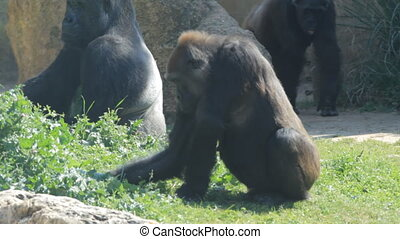 Gorillas in a safari in Israel