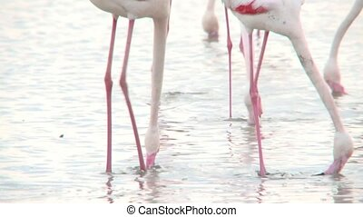 Flamingo - Group of Flamingo's foraging in water