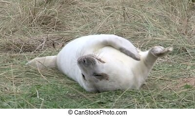 Grey Seal pup rolling on his back