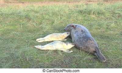 Grey Seal with twin pups - Grey Seal moter nursing her twin...