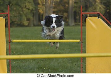 Agility - Dog skill competition. - Dog, Border Collie, who...