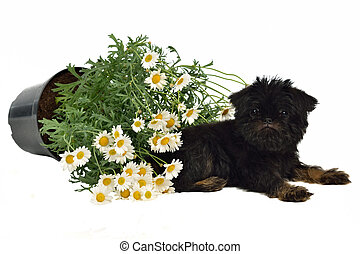 Puppy with a pot with Daisies on the floor, isolated on...