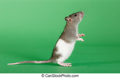standing rat - very small rat on a green background
